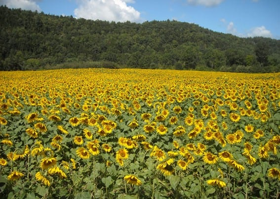 Vt. sunflowers to provide power