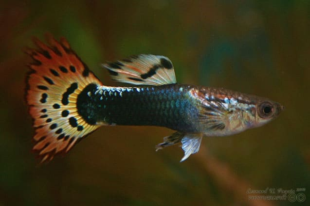 Speaker Bill Gill schools subjects  on the art of guppy keeping