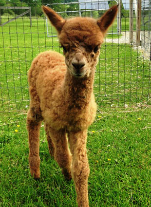Local farm celebrates national alpaca farm day the for Alpacas view farm cuisine