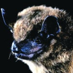 Bats are on the move, with a reputation to improve