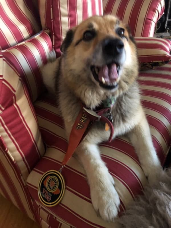 Submitted Kiki, an 11 year-old Icelandic Shepherd, was the only canine to receive a medal in the Vermont 50—the annual 50 -mile bike and running race held Sept. 30 in West Windsor.