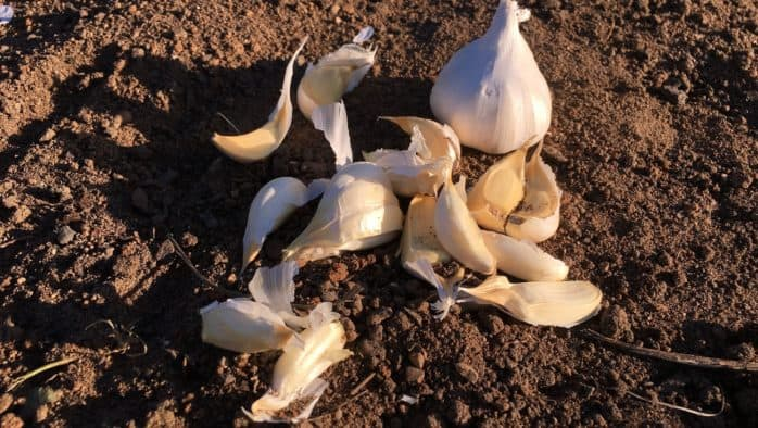 Grow garlic this fall for flavorful meals and health benefits