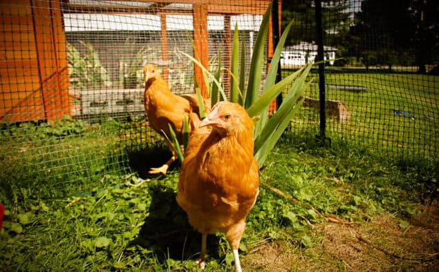 Backyard chicken coops (farm not required)