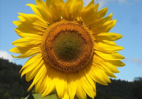 Vt. sunflowers to provide power