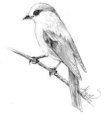 The Outside Story: Gray jays, these birds have attitude!