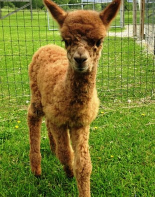 Maple View Farm Alpacas hosts holiday open house