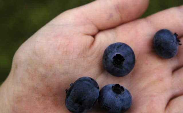 Okemo celebrates summer with July 26 Blueberry Festival