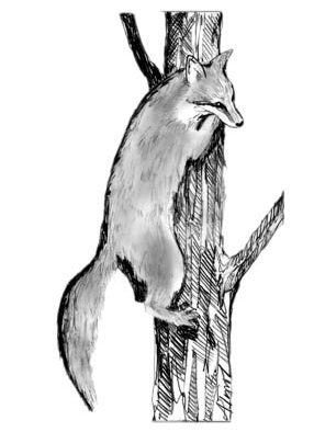 The Outside Story: The Tree Fox, look up to find this grey fox