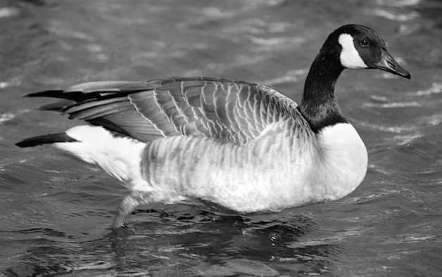 Vermont's migratory bird hunting seasons announced
