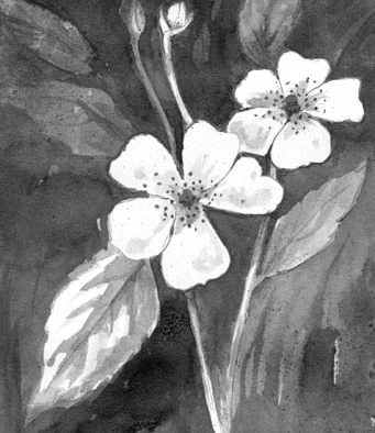 A thorny problem: multiflora rose