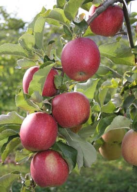 Banner apple harvest reported statewide