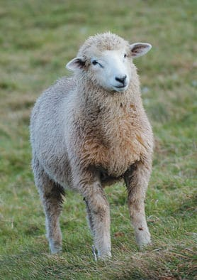 Shepherds rejoice! Annual Sheep Festival welcomes public to demos, products and activities