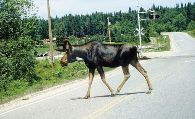 Be alert to moose on Vt's roadways