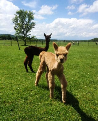 Meet the alpacas at holiday open house