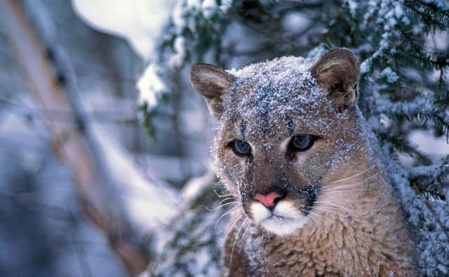 Cougars returning to Vermont?