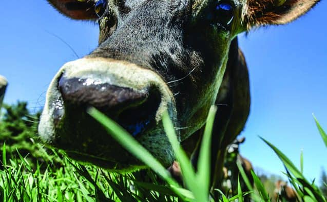 Billings celebrates the bovine with Cheese and Dairy Celebration