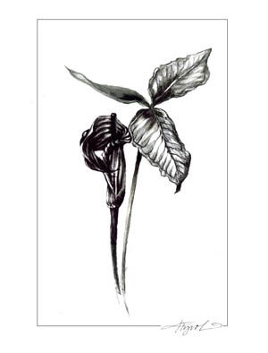 The Outside Story: Jack-in-the-pulpits