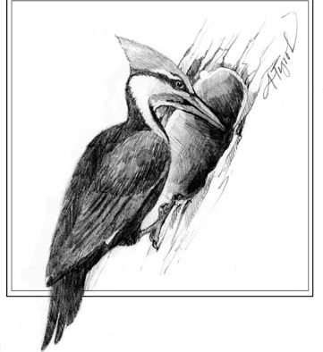 The Outside Story: Spring excavations: pileated woodpeckers