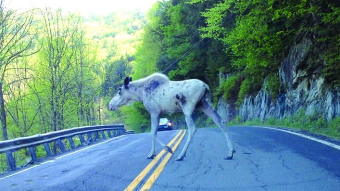 White moose crossing