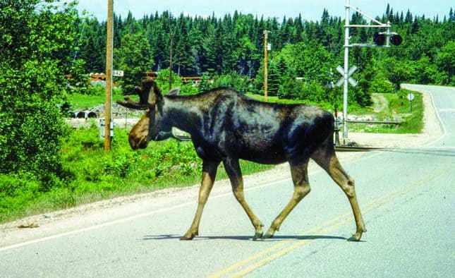 Be alert, avoid moose on roads