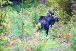 Vermont's moose hunt auction is open