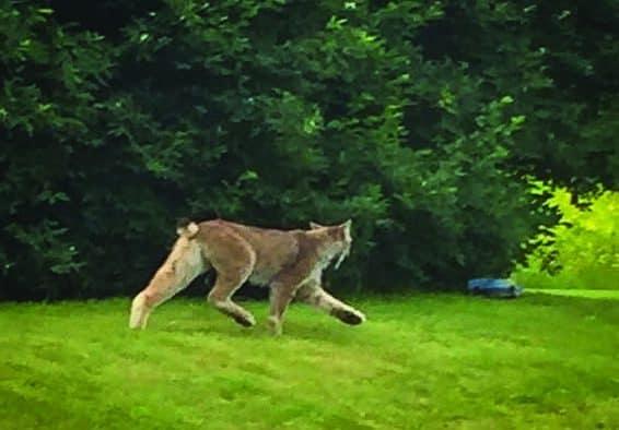 Lynx spotten in southern Vt.