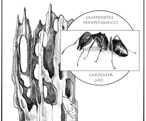 Carpenter ants: Consumers of everything but wood