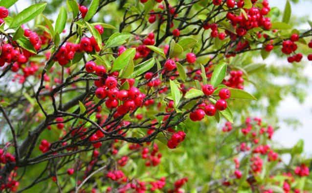 Rubies of winter