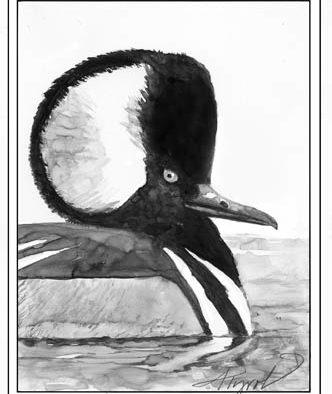 """""""Beaver duck"""": the adaptable hooded merganser"""
