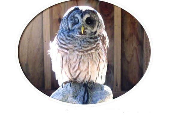 Meet Mike the barred owl on the Woodstock Green