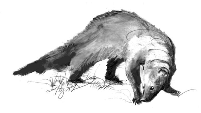 The fisher: elusive, fast, a porcupine's worst nightmare