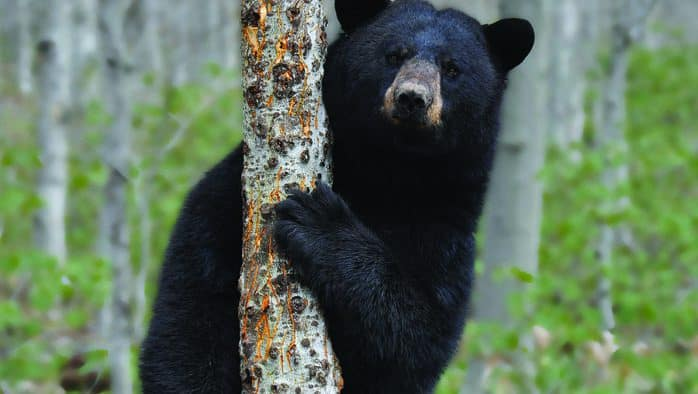 Vermont black bears: how to effectively manage conflict