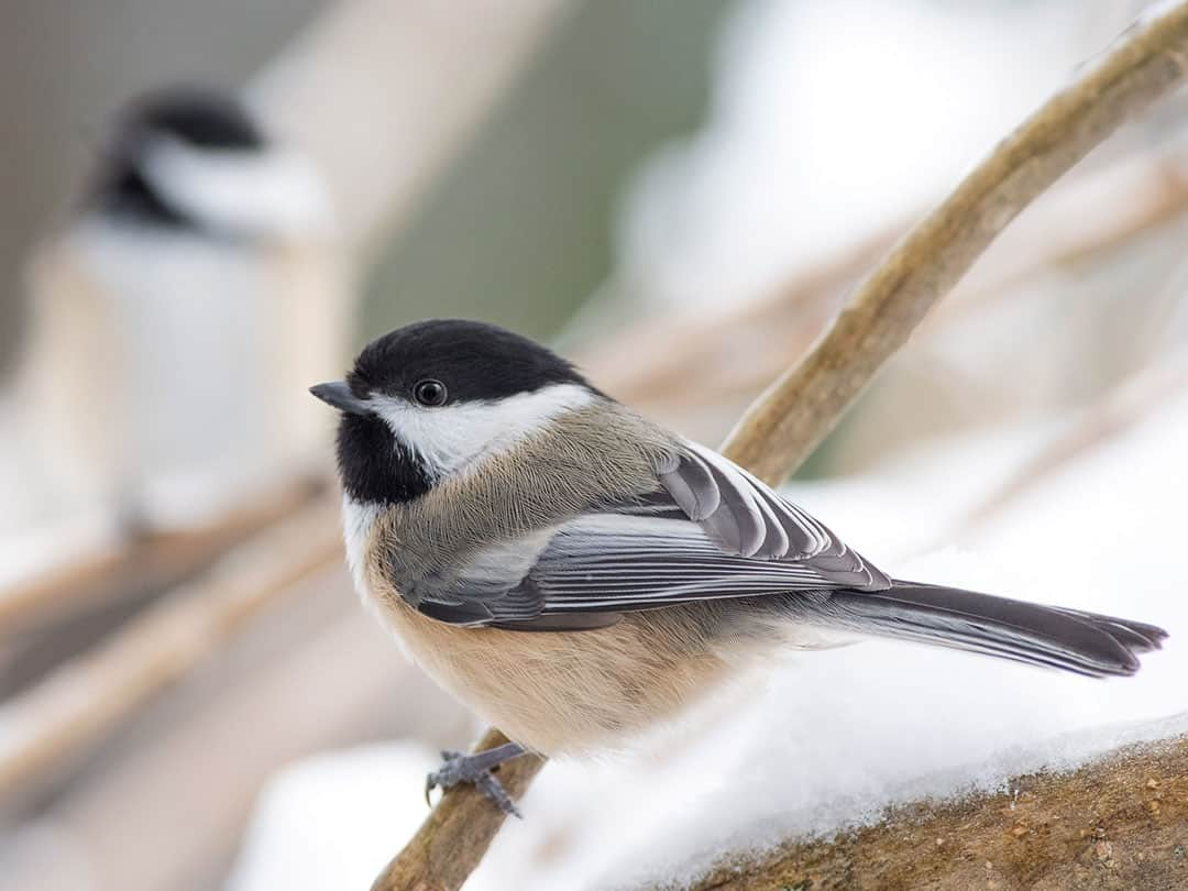 Join the Great Backyard Bird Count - The Mountain Times