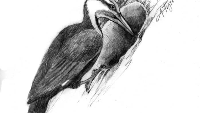 Pileated woodpeckers: Winter excavators