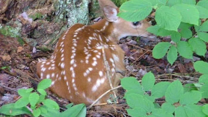 Fawns are arriving; leave them alone, VTF&W urges