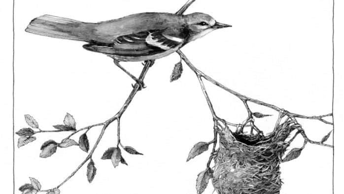 The oriole nest