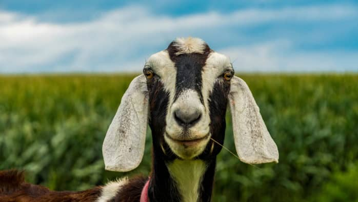 Goats in Tunbridge sickened after consuming toxic chemical below utility pole