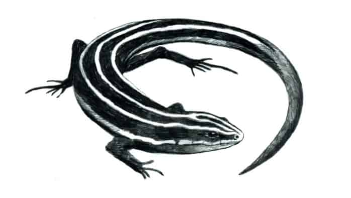 Meet New England's only lizard, the five-lined skink