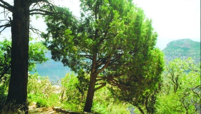 Trees age in place; new techniques determine years