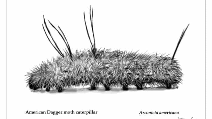 The defenses of hairy caterpillars