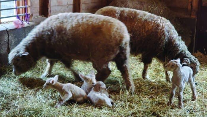 Billings Farm & Museum's baby farm animal celebration held April 10-11