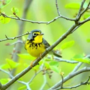 Rutland County Audubon hosts bird walk at Slate Valley Trails