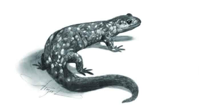 Salamander secrets