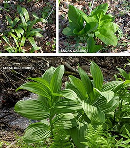 State officials warn Vermonters about false hellebore