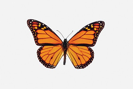 AOT takes action to protect the monarch butterfly