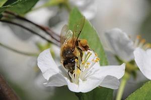 Vermont pollinators are in peril