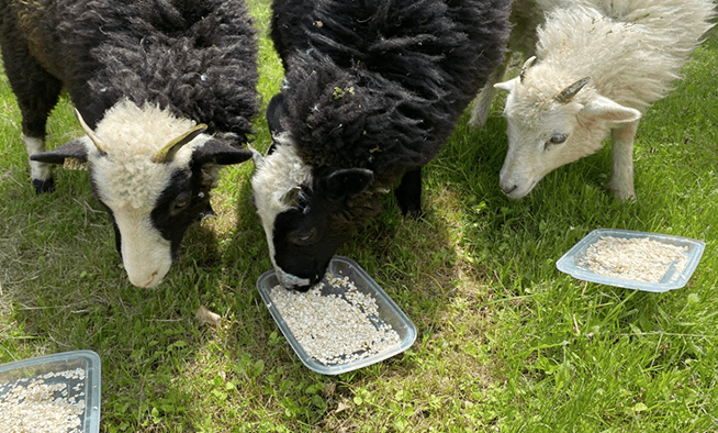Three lost sheep rescued after a five-day adventure through Killington