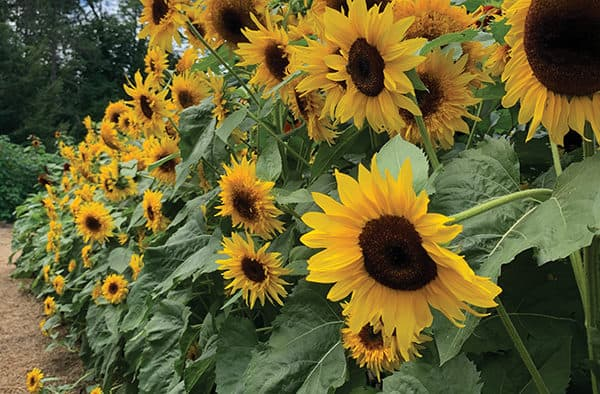 Sunflowers blaze and pollinators buzz in Woodstock this summer