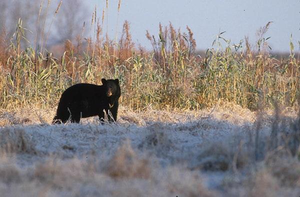 Vermont bear hunting starts September