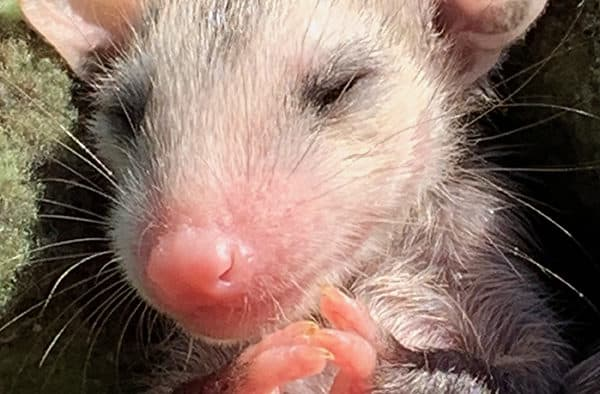 In rescuing 8-week-old opossums; joy, attachment came as a surprise